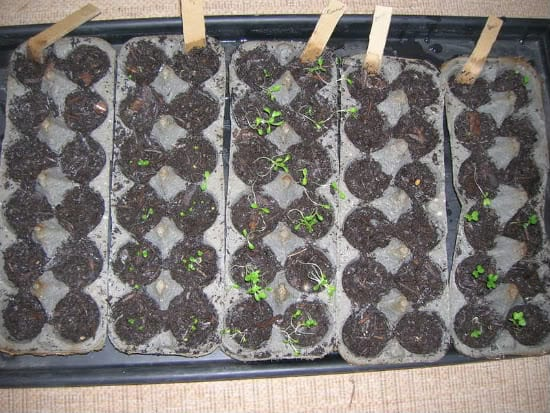 Egg carton seedlings