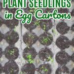 Start Seedlings in Egg Cartons
