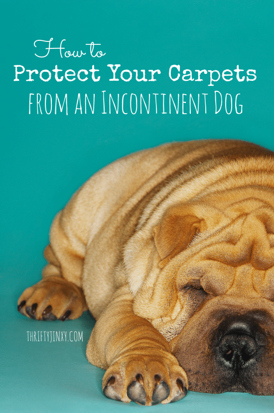 How to Protect Your Carpets from an Incontinent Dog