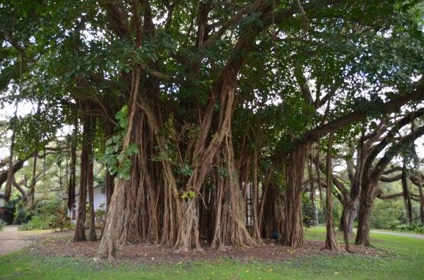 Flamingo Gardens Cypress Trees