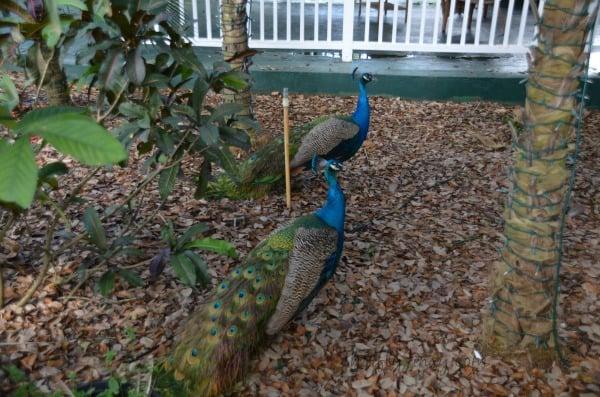 Peacocks Flamingo Gardens