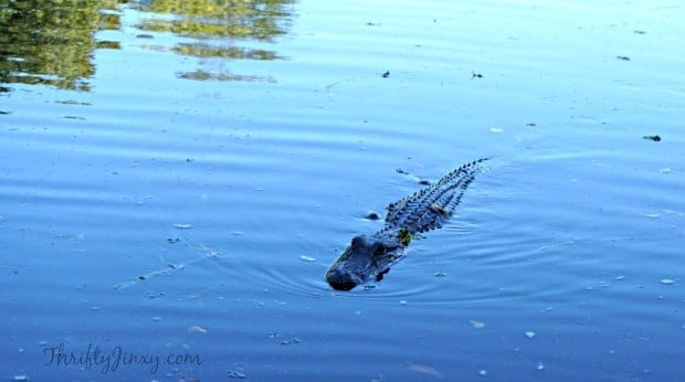 Alligator Louisiana Swamp Tour