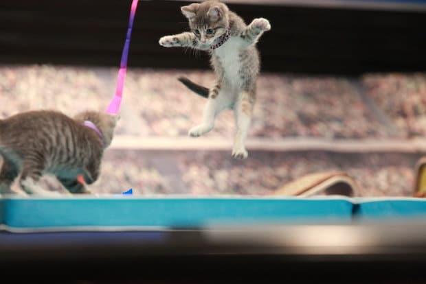 Kitten Summer Games Wrestling