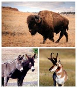 Custer State Park: South Dakota's Best Wildlife Viewing