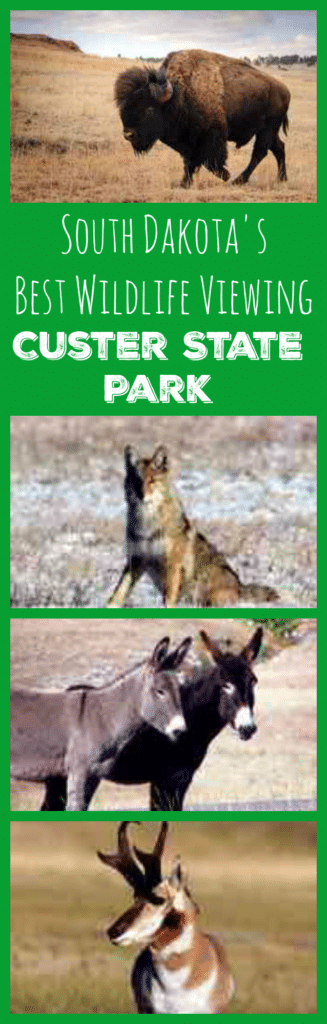 South Dakota's Best Wildlife Viewing - Custer State Park: See bison, antelope, burro, elk, deer, mountain goats and more!