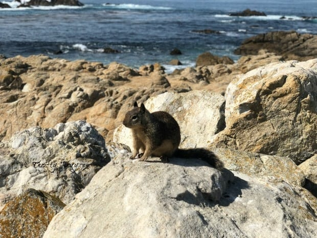 17-Mile Drive Squirrel