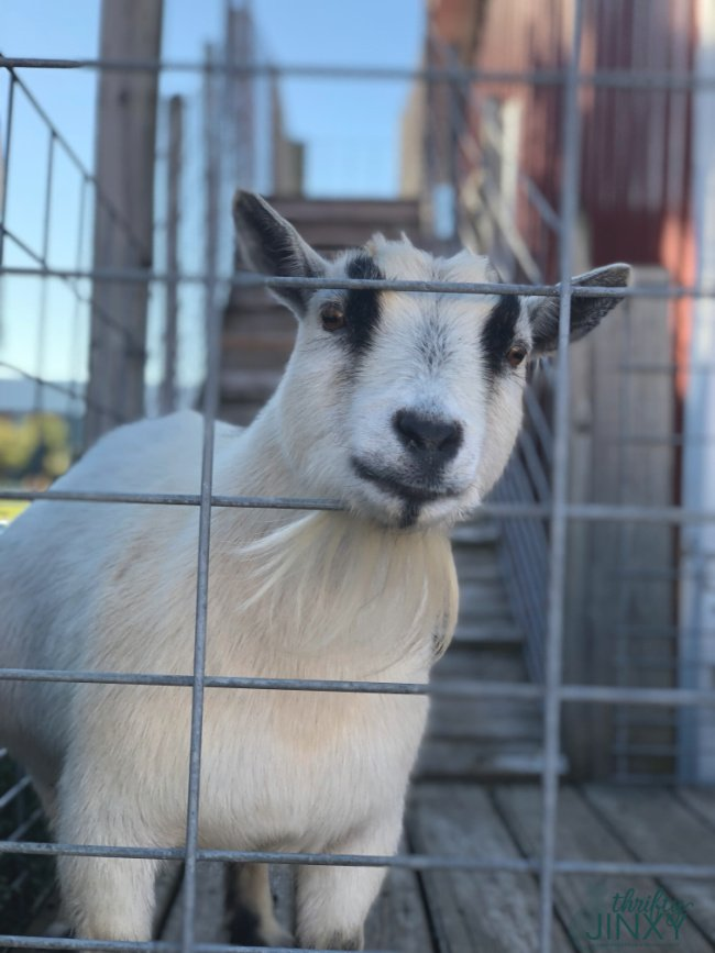 Goat Toms Farm Market Petting Zoo
