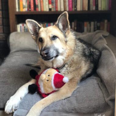 German Shepherd Dog with Santa Toy